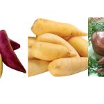 Batata inglesa, doce, baroa, yacon: qual a diferença?